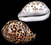 Tiger Cowrie - Click For Larger View