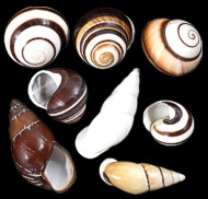 Assorted Land Snails - Click For Larger View