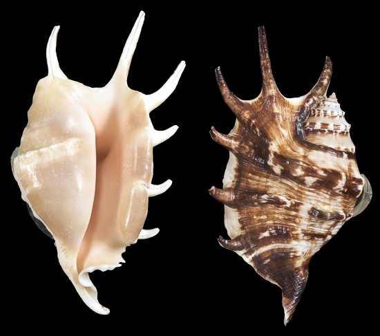 foto How to Clean and Polish Seashells