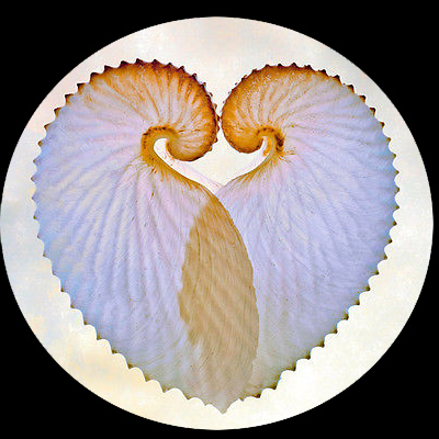 paper nautilus shell for sale 2 paper nautilus shell - for sale classifieds nautilus sea shell, nautilus shell pendant, sea shells, shell necklace, shell cameo.