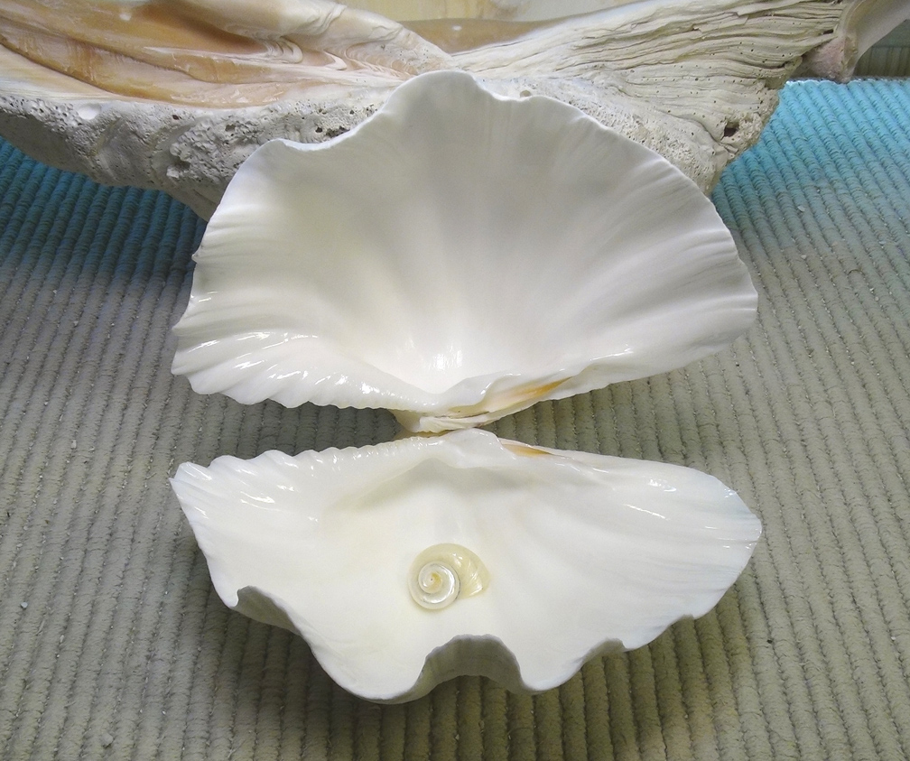 Open Clam With Pearl Related Keywords - Open Clam With ...