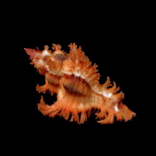 saffronmurex
