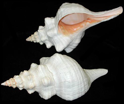 Horse Amp Crown Conch Seashells Seahells Gifts World Seashells