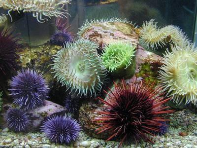 sea urchin decor.htm sea urchins  starfish  sea shells  quality sea shell  rare seashell  sea urchins  starfish  sea shells